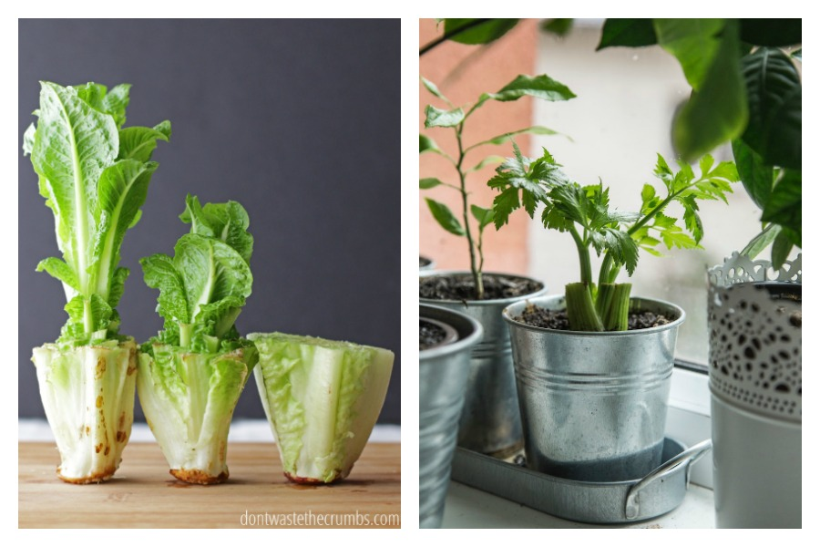 Produce tips: 5 vegetables and other edibles you can re-grow quickly in your kitchen, no garden required.
