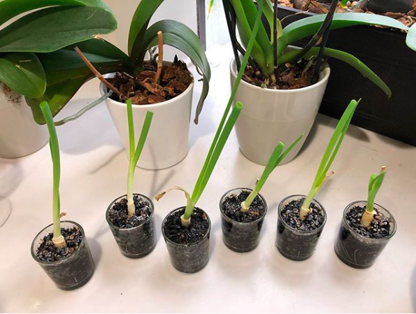 Veggies that regrow quickly at home: Scallions | @RubyAmanfu on Instagram